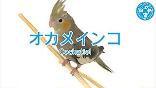 【チャーム】オカメインコ Cockatiel オウム charm動画