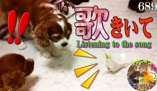 歌をシツコク聞かせるオカメインコがかわいい689|Cute Funny Singing Cockatiel