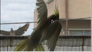 オカメインコのきなこ 窓腰に鳩のカップルに遭遇したら・・・