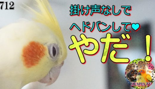【検証】掛け声なしでヘドバンしてくれるのか?オカメインコ712|面白い可愛い動物動画Cute Cockatiel