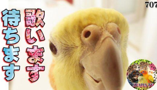 オカメインコ 飼い主をこんなに可愛い顔で待ってたの?|歌 おもしろい癒し動物動画Singing Cockatiel 707
