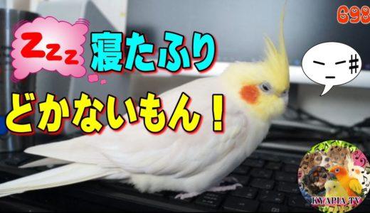 オカメインコ 構ってやらずにいたらこんな反抗的な態度にでました!698|おもしろいかわいい動物ペット動画Funny Cockatiel