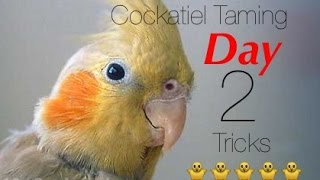 オカメインコトレーニング~Cockatiel Training | Cockatiel Taming&Training Tricks Day 2: Proccess