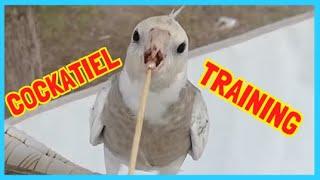 オカメインコトレーニング~Cockatiel training: – 1 – The target