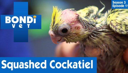 押しつぶされたオカメインコの怪我の治療~Squashed Cockatiel | S03E11 | Bondi Vet