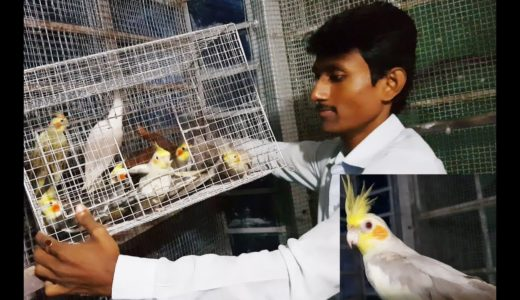 Cockatiel Bird Purchase And release at Colony / Cockatiel Parrot Price.