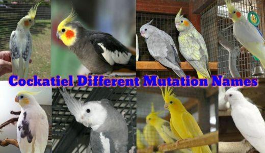 オカメインコの品種名~Cockatiel Different Mutation Names