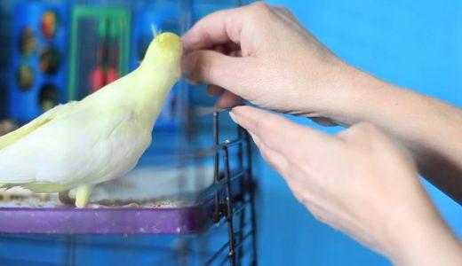 オカメインコをケージの外に出す方法How to Get a Cockatiel Out of the Cage : Bird Care & Training