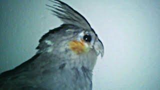 My Cockatiel Baby Sick😭