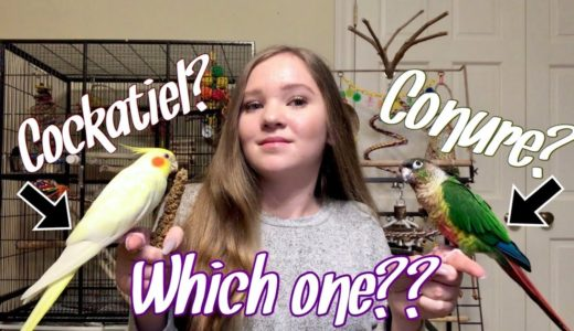 Cockatiel vs. Conure: Which Bird is Right for You?