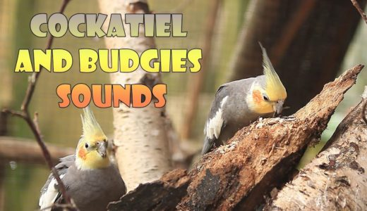 Happy Cockatiel, Budgerigar and Budgie Sounds, 30 Minutes Uninterrupted Aviary Sounds
