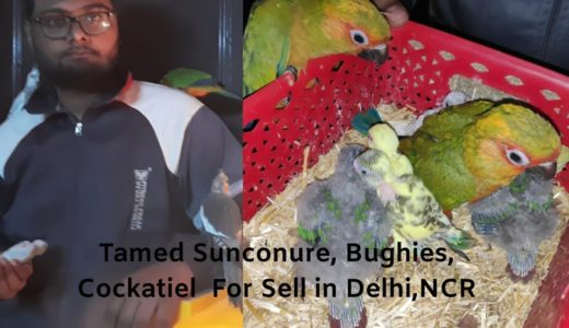 Tamed Sunconure, Bughies, Cockatiel & Green chick counure For Sell in Delhi,NCR