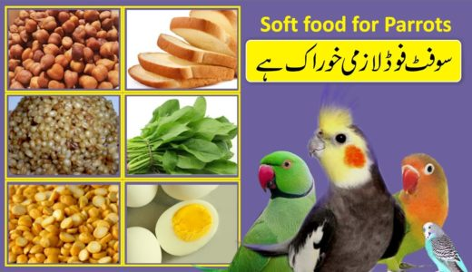 soft food for parrot | cockatiel soft food | love bird soft food | bywaseem