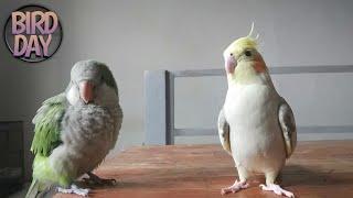 Melatih Quaker Parrot, Cockatiel Bicara & Bernyanyi | Grock & Sky