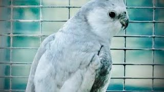 Top 5 Beautiful Cockatiel | How To Train Your Bird