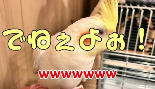 【オカメインコ】うんこうんこ体操! #1
