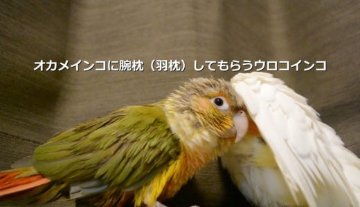オカメインコに腕枕をしてもらうウロコインコ【Birb】Parakeet likes to sleep with his head on  cockatiel arm(wing lol)