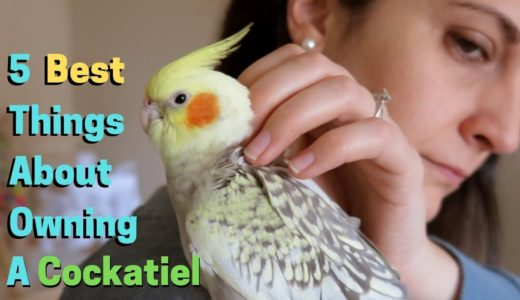 5 Best Things About Owning A Cockatiel