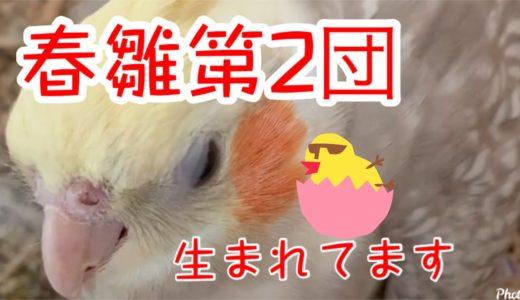 [オカメインコ]春雛第2団 #オカメインコ