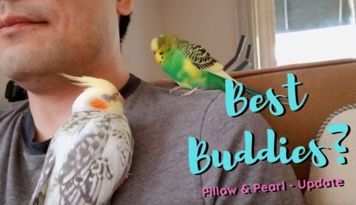 Cockatiel and Budgie Best Buddies? – Pillow & Pearl First Week Update
