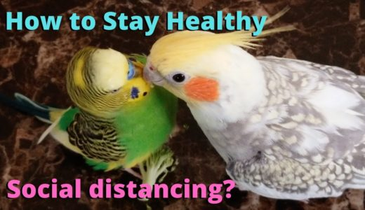 Tips to Keep You and Your Birds Healthy | Budgie and Cockatiel