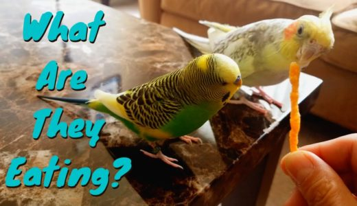 What Are They Eating? | Pillow the Budgie & Pearl the Cockatiel