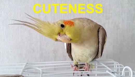 Cockatiel Cuteness Level Overdose ❤️