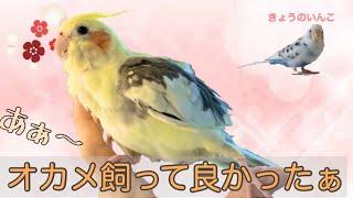 【メリット】オカメインコは癒しの権化!! Healed by cockatiels