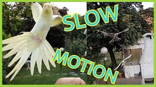 Cockatiel slow motion landings