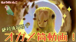 【恐怖】オカメインコの可愛い動画の撮り方? How to take a cute video of a cockatiel?