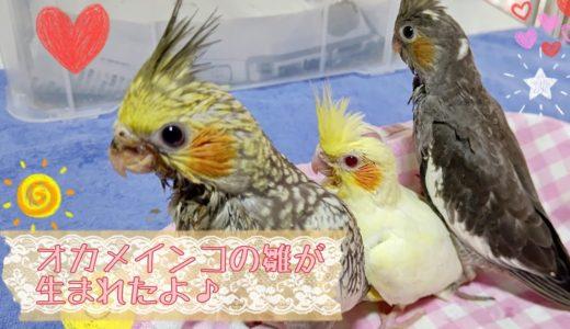 オカメインコの雛が新しく3羽生まれたよ!【ゆかりペットプロダクション】