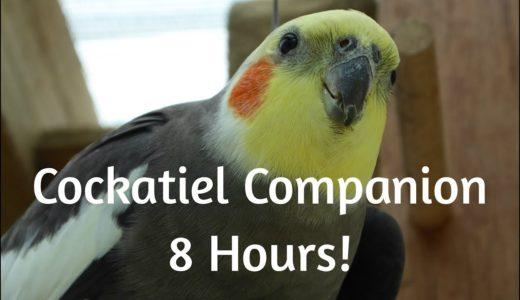 Cockatiel Companion 8 HOURS OF COCKATIELS!!! Mega Compilation
