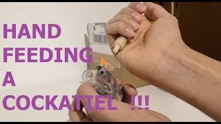 Hand feeding a cockatiel – Part 1