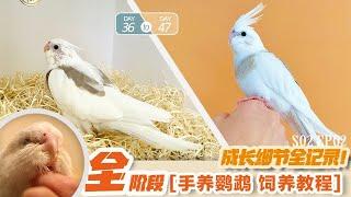 「S02 EP02」全面紀錄手癢鸚鵡36-37天!|baby cockatiel handfeeding PART2