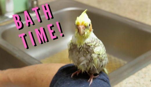 Pearl the Cockatiel's First Bath | Budgie and Cockatiel Take A Bath