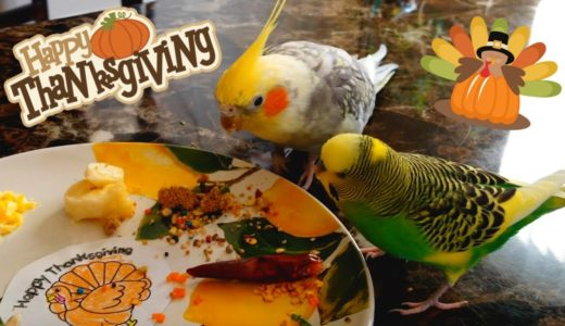 Pillow the Budgie and Pearl the Cockatiel's Birb Thanksgiving Feast!