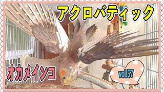 すごく嬉しいとアクロバティックになっちゃう!オカメインコのもずきち編vol.57☆The acrobatic cockatiel #オカメインコ#cockatiel#アクロバティック