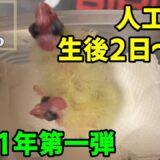 【オカメインコ】2021年 第一弾の人工育雛シリーズ 生後2~8日まで