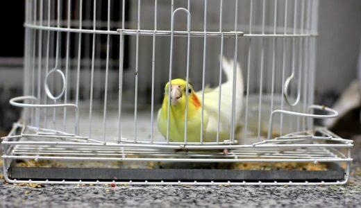 Cockatiel escape (Calopsita fugindo da gaiola)