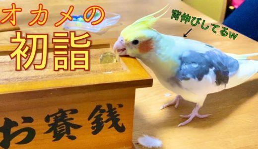 【初詣】お賽銭箱におはじきを入れるオカメインコ