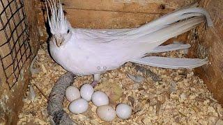 cockatiel breeding result
