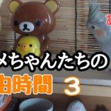 【オカメインコ】放鳥中のオカメちゃんたち3