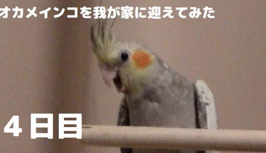 【オカメインコ】お迎え4日目…噛む!怒る!逃げる!雛がまさかの行動