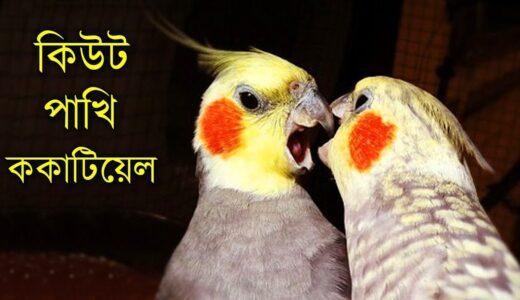 🐥🐥বিশ্বের সবচেয়ে জনপ্রিয় পোষা পাখি ককাটিয়েল🐣🐣 | World's Most Popular Pet bird Cockatiel Cockatoo