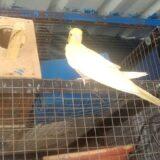 Cockatile Parrot Nikal Gaya Cage se Bahar ab Rehga Bahar hi Cockatiel Parrot Breeding Progress