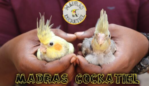 MADRAS COCKATIEL | BIRDS FOR SALES | DELIVERY AVAILABLE | WITH PRICE | SE VLOGS