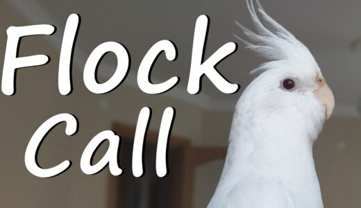 Male Cockatiel Flock Call