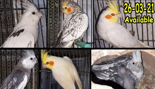 Cockatiel Breeder & Ready For Breed Pairs & Cages are Available | 26/Mar/2021 | Lodhi Birds