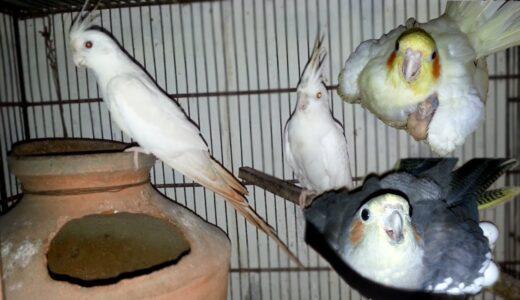 My all Cockatiel Parrots Breeding Progress