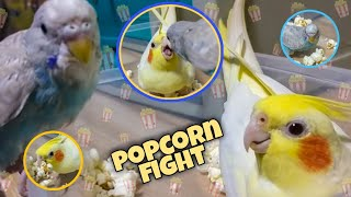 Popcorn Fight | Cockatiel and Budgie Edition